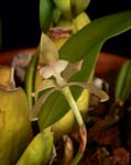 Trpla. fragrans