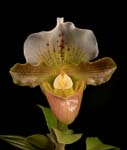 Paph. Unnamed