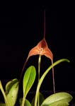 Masd. triangularis